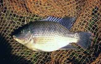 tilapia fish in a pond